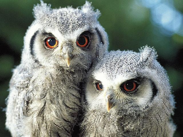owlets-big
