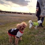 犬組連れて淀川河川敷へお散歩。お留守番のチビ