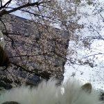 チビにゃんと一緒に桜を見にお出かけ♪ in 2016