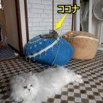 ココナは小さいから入りこむとわからなくなるからヒモをつけてる(•ө•)♡
