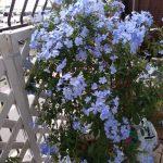ベランダのお花も満開❤