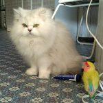 猫(チビにゃん)を全く怖がらなくなったコザクラインコ(ハピちゃん)