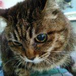 食欲がなく元気がない最近の老猫ローリーちゃん
