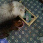元気になってご飯を食べ始める老猫ローリーちゃんと最近のココナ