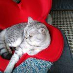 ママの姿勢矯正の座椅子を取り合いをする猫組