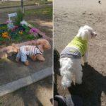 先月のジュンちゃんとシュラちゃんの公園散歩の様子