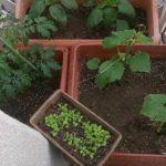 ママの野菜栽培日記(5/9~6/5)収穫まで♪
