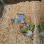 我が家に新しい家族が増えました!2羽のヒナっ子インコ❤