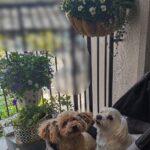 犬組のジュンちゃんとシュラちゃんの公園散歩の様子(足が弱い老犬マルチーズ)