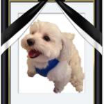 愛犬ジュンちゃんが永眠しました。9月18日(土)早朝未明